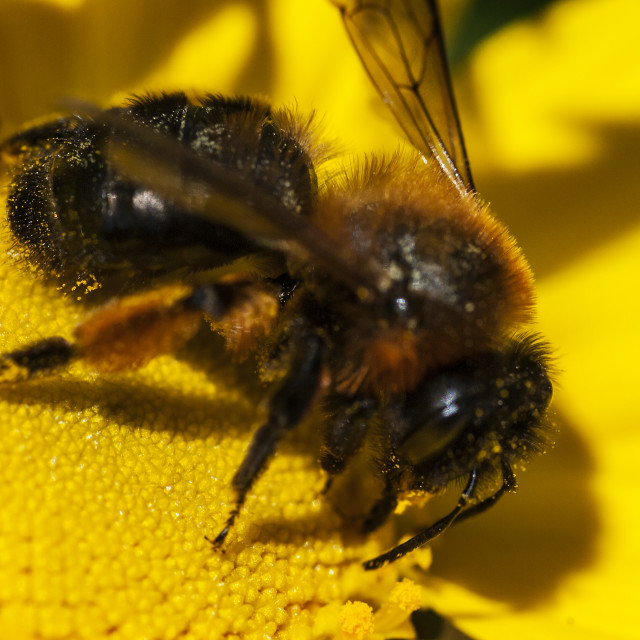 """Bee on a daisy"" stock image"