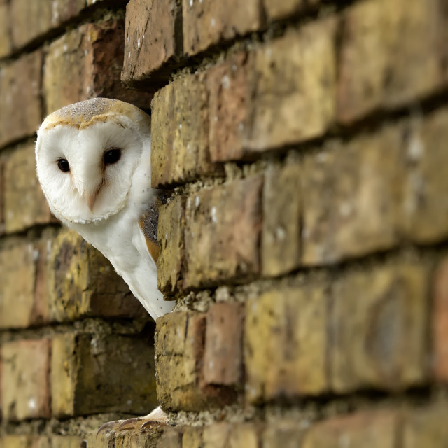 """Barn owl looking"" stock image"