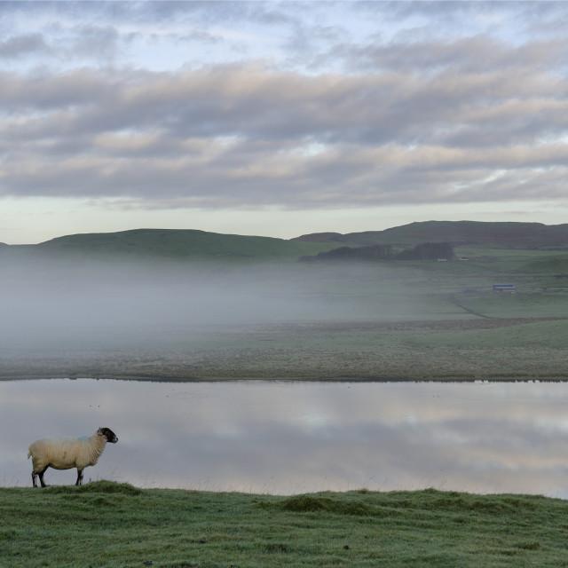 """""""Sheep at Grindon Lough"""" stock image"""