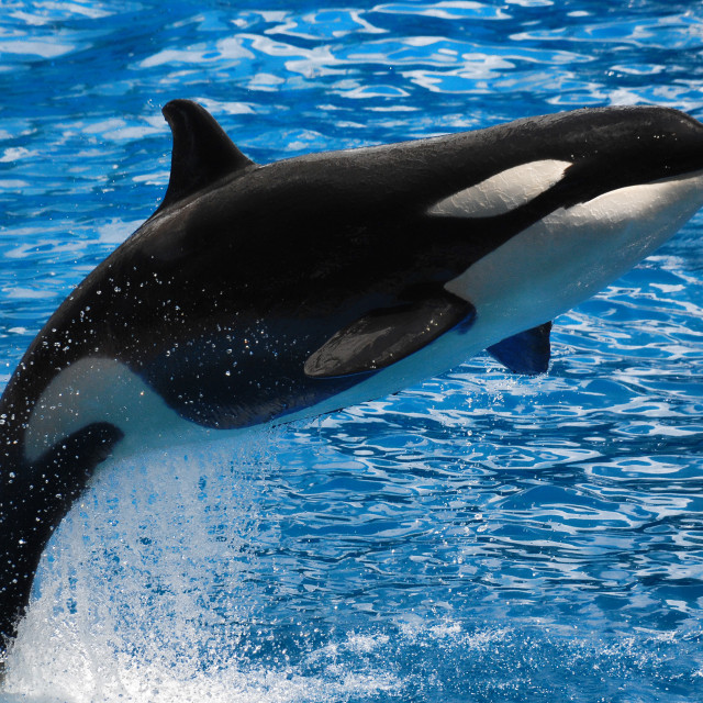 """Killer Whale Take Off"" stock image"
