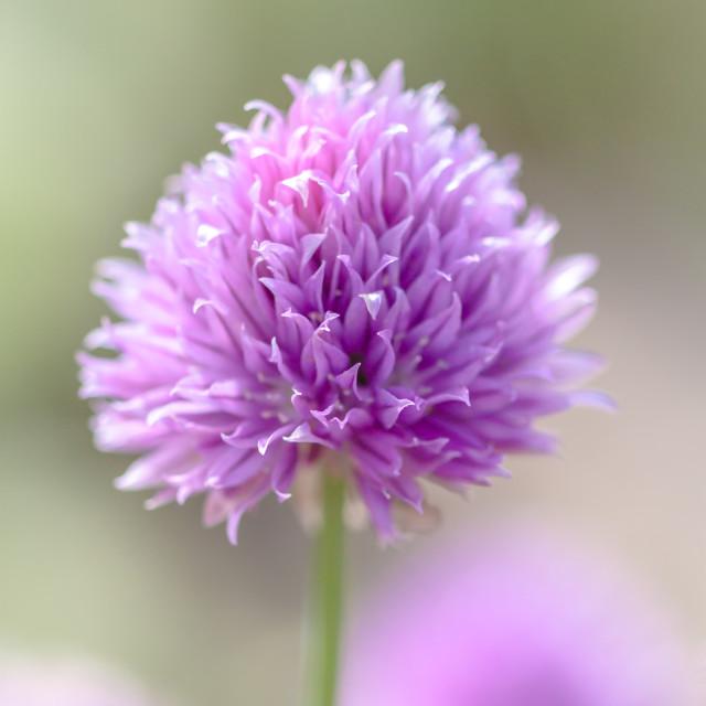 """Perennial Flower #2"" stock image"