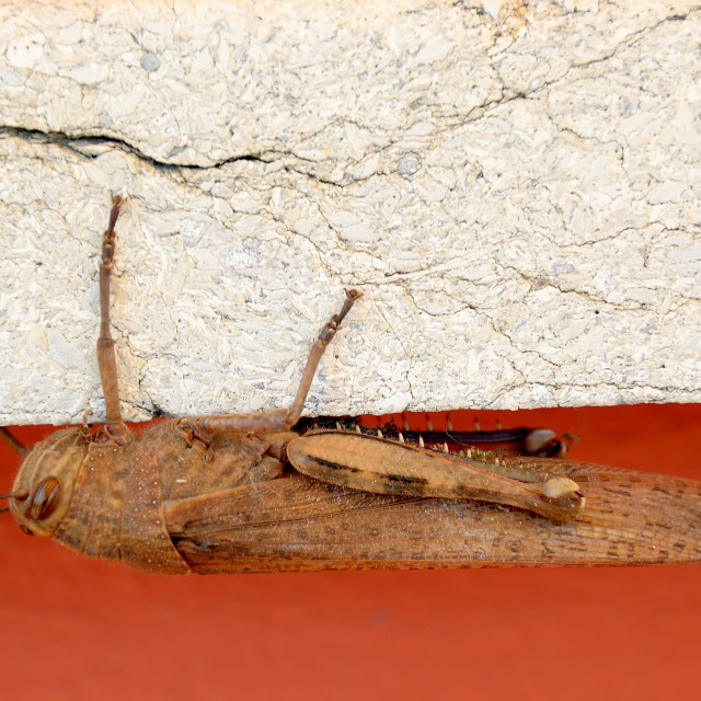 """grasshopper on pared"" stock image"