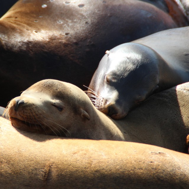"""Sleeping sea lions"" stock image"