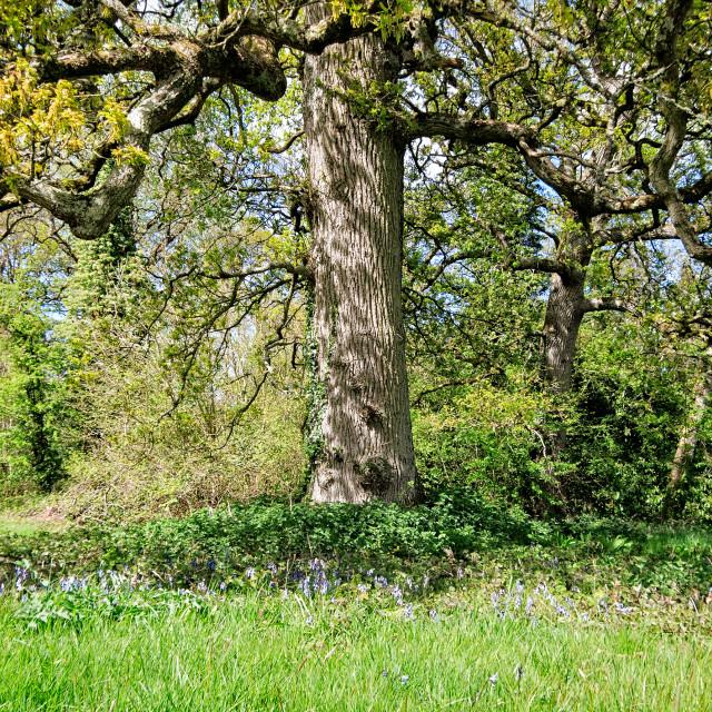 """""""Oak in spring"""" stock image"""