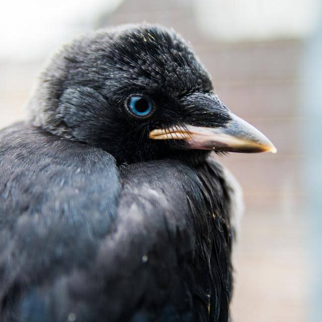"""Baby Crow"" stock image"