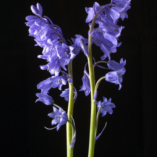 """""""Bluebells, From the very Woods I Created!"""" stock image"""