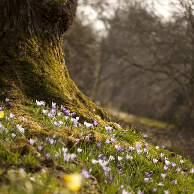 """Crocuses in the Spring"" stock image"