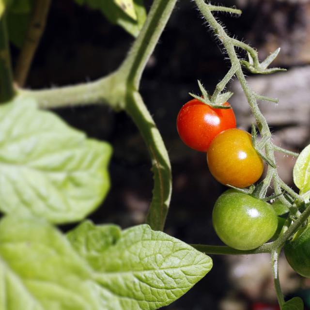 """Tomato Plant"" stock image"