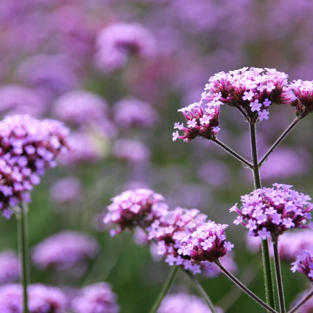 """""""Verbena bonariensis"""" stock image"""
