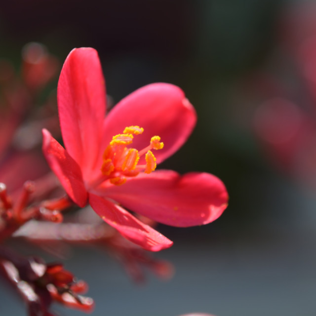 """""""Red Bloom"""" stock image"""