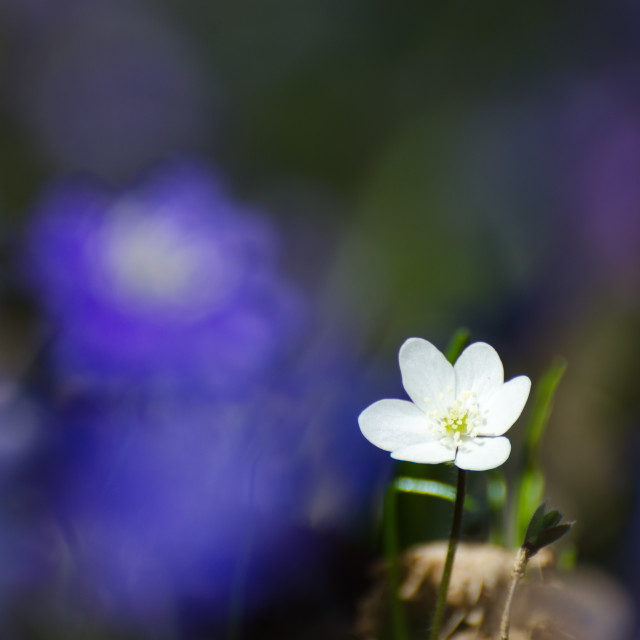 """Shiny white Hepatica"" stock image"