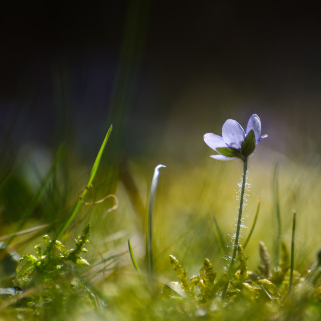 """Single backlit Hepatica"" stock image"