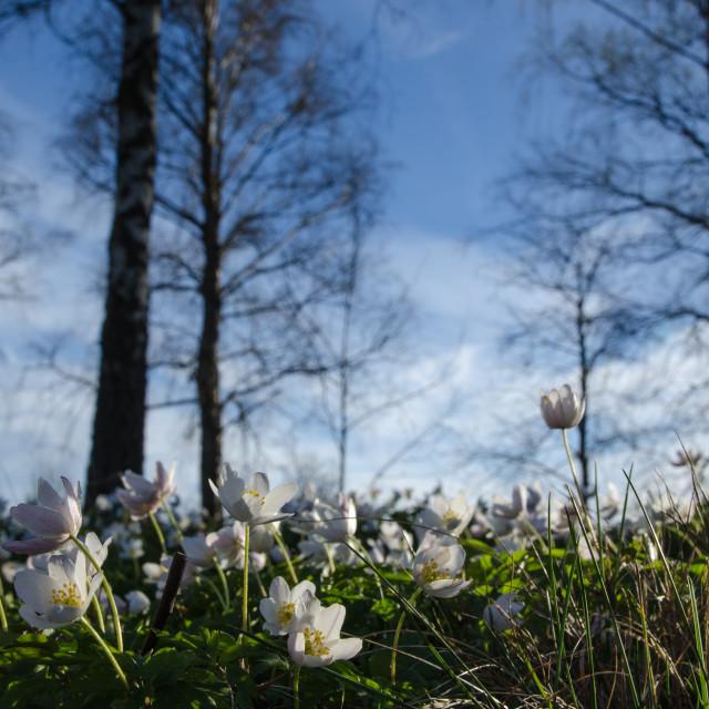 """""""Among windflowers"""" stock image"""