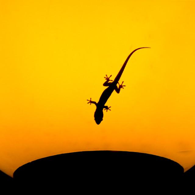 """Small Gecko"" stock image"