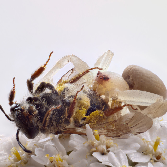 """Crab spider with prey"" stock image"