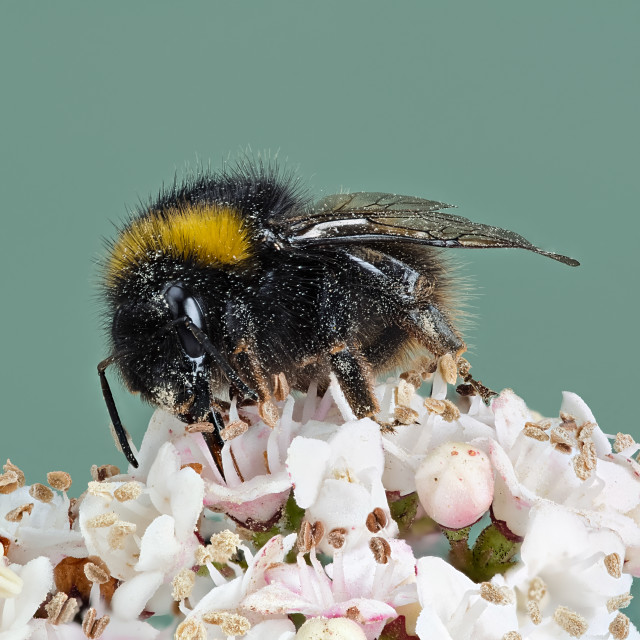"""Foraging Bumble Bee"" stock image"