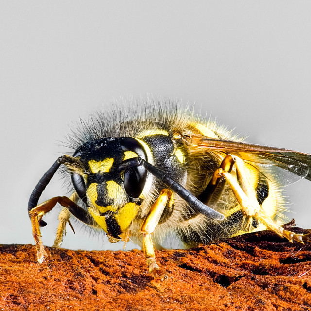 """Vespula vulgaris, common wasp"" stock image"