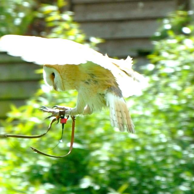 """Barn Owl Landing"" stock image"