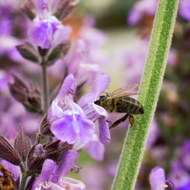 """Bee Pollinating Violet Flower"" stock image"