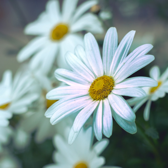 """group of white daisies"" stock image"