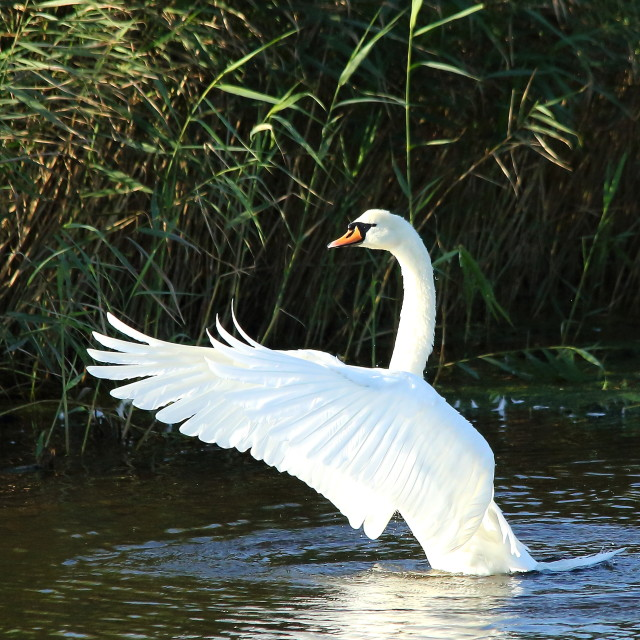 """Swan flapping wings"" stock image"