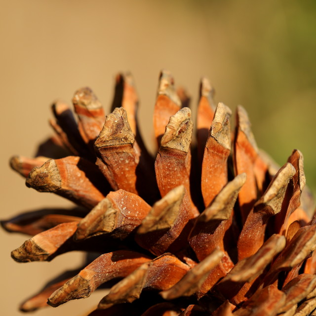 """Pine cone opening"" stock image"
