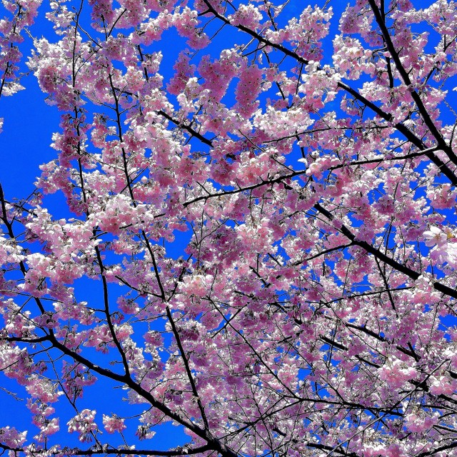 """Cherry-spring 2015-9"" stock image"