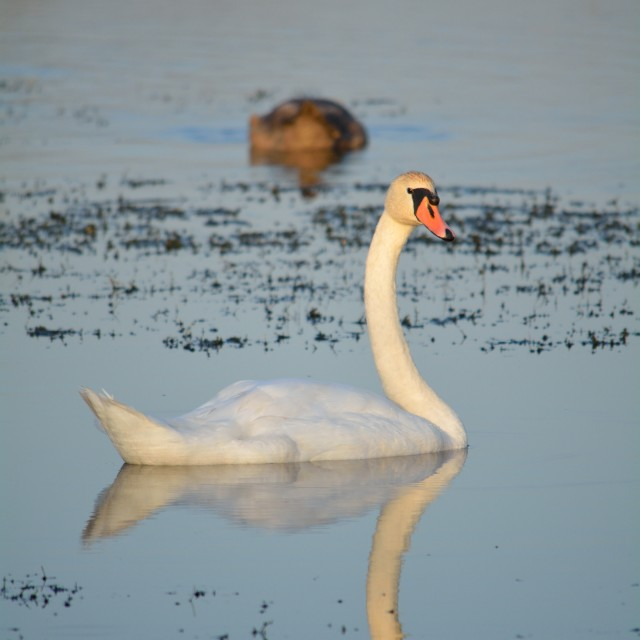 """""""A Swan"""" stock image"""