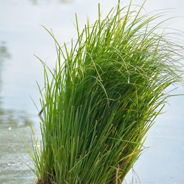 """Pond Grass"" stock image"