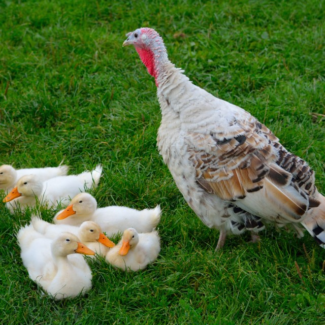 """""""Countryside - Ducklings & Turkey"""" stock image"""