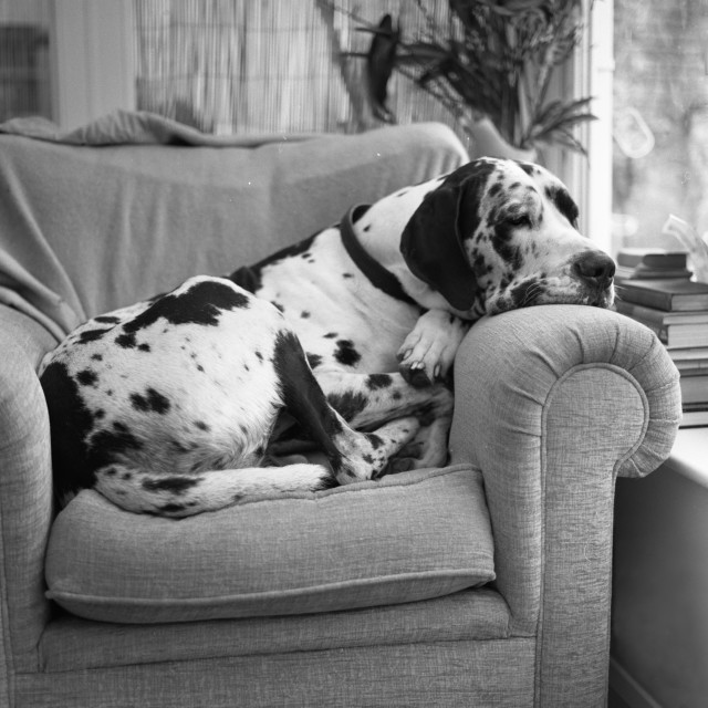 """Great Dane on chair"" stock image"