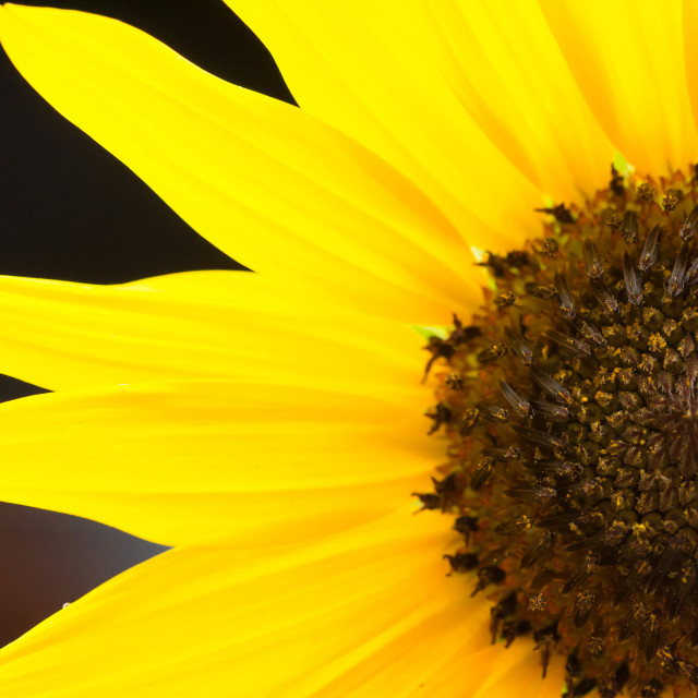 """Sunflower gold"" stock image"