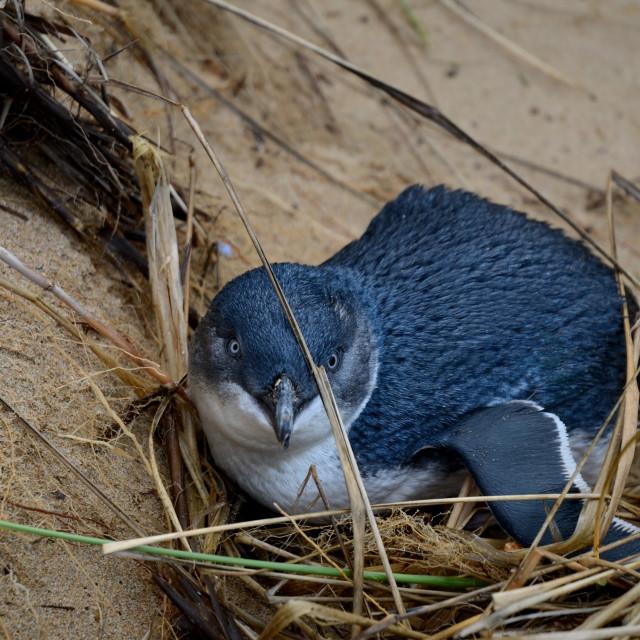 """""""Little Penguin"""" stock image"""