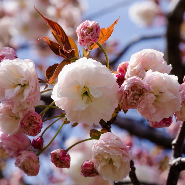 """Sakura 1"" stock image"