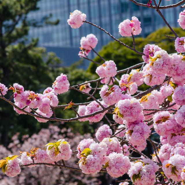 """Sakura 2"" stock image"