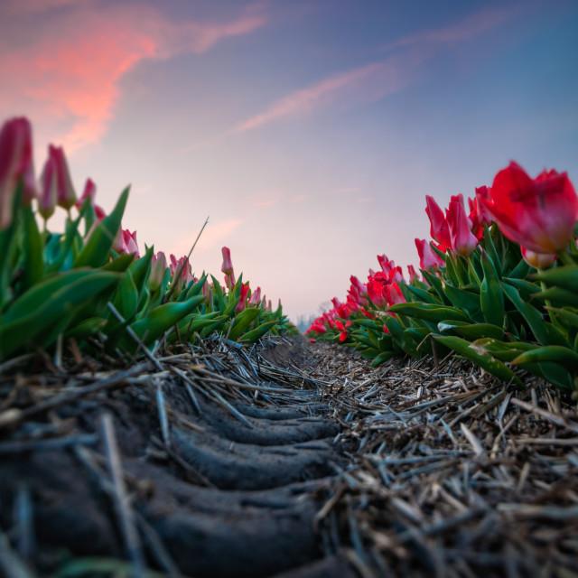 """Tulip Perspective"" stock image"