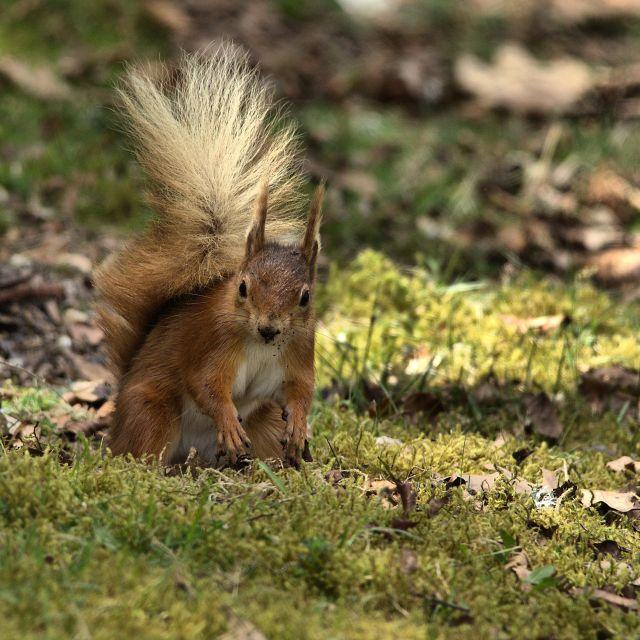 """""""Red Squirrel (Sciurus vulgaris)"""" stock image"""