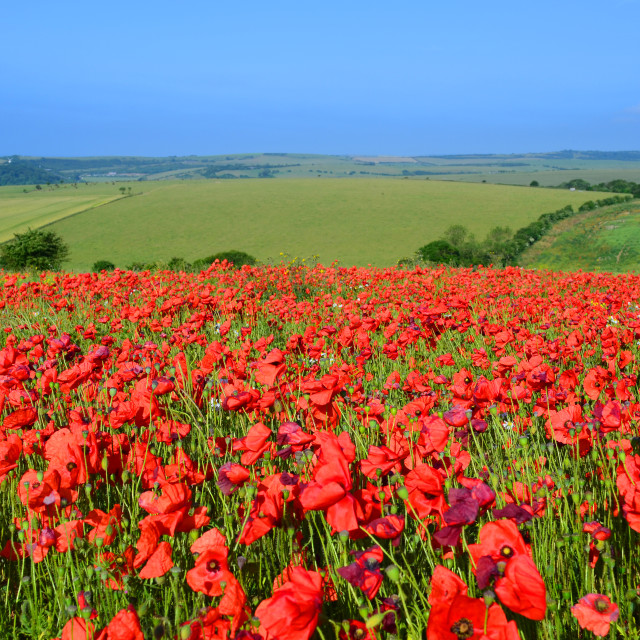 """Wild poppies in England"" stock image"