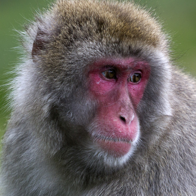 """""""Japanese Macaque"""" stock image"""