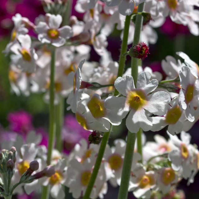 """""""Primula"""" stock image"""