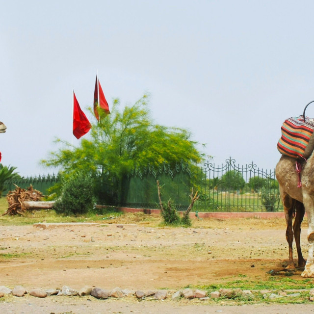 """""""camels in marrakech"""" stock image"""