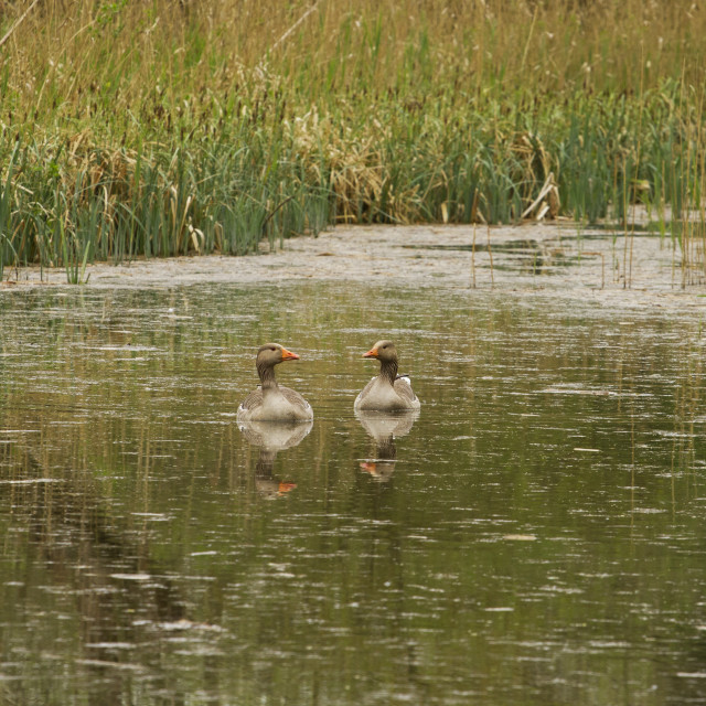 """Greylag goose pair"" stock image"