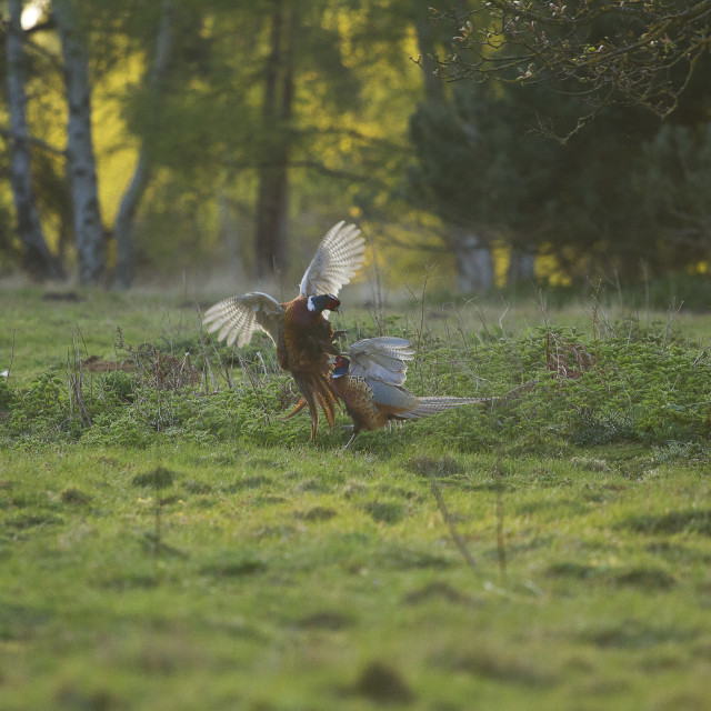 """Pheasant fight"" stock image"
