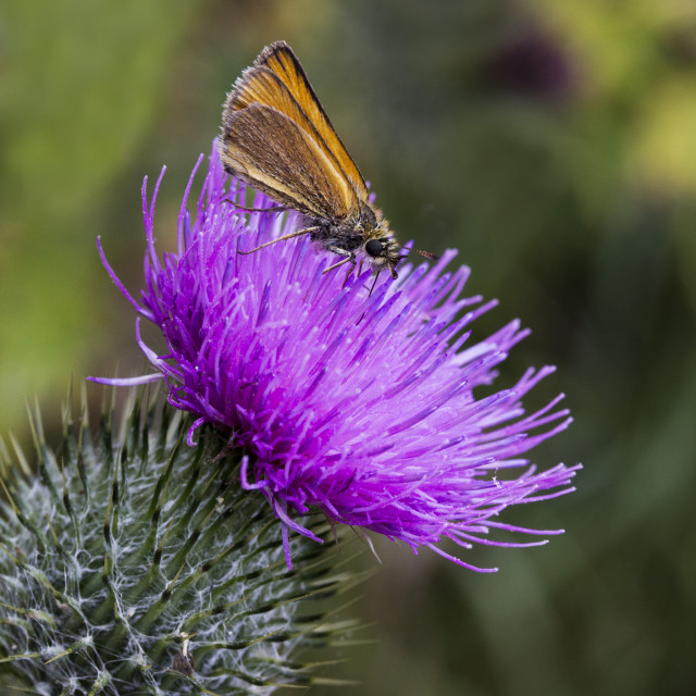 """Skipper on thistle"" stock image"