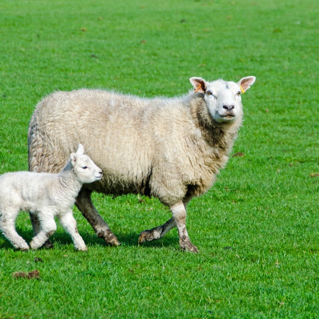 """Ewe with Lamb"" stock image"