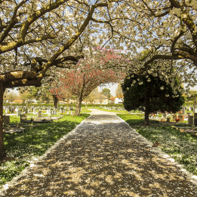 """Cemetery Blossom"" stock image"