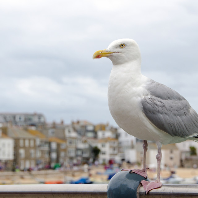 """Seagull at St Ives"" stock image"