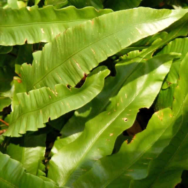 """harts tongue fern"" stock image"