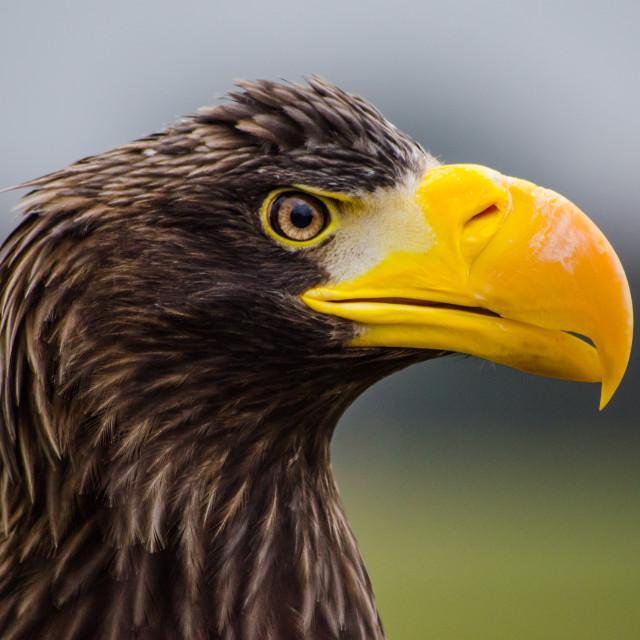"""Steller sea Eagle"" stock image"