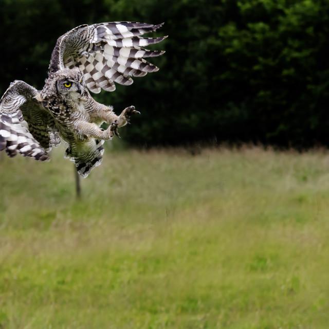 """""""Tawney owl"""" stock image"""